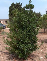 Defne ağacı (defne yemişi)