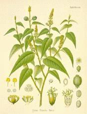 Amber kabuğu (sığla ağacı)