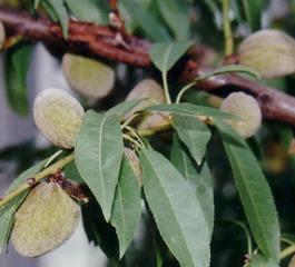 Badem (badem ağacı)