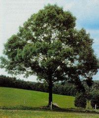 Çiçekli diş budak ağacı