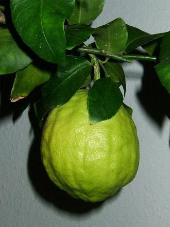 Ağaç kavunu (limon kavunu)