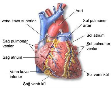 Kalp yetersizliği nedir ?