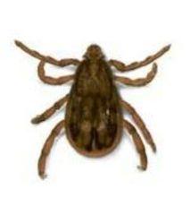 Kene – kırım-kongo kanamalı ateşi hastalığı – kene ısırığı