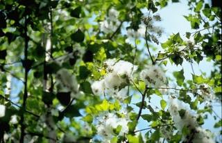 Akçakavak (beyaz kavak ağacı)