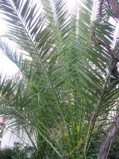 Dikenli palmiye – saw palmetto (serenosa repens)
